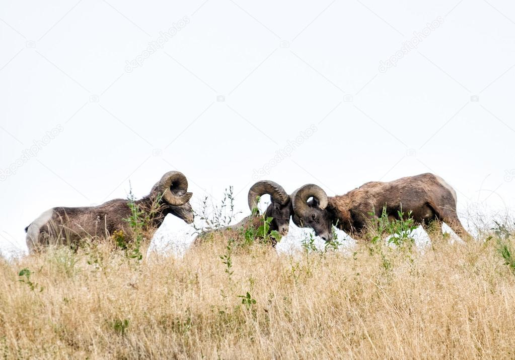 Bighorn Rams Battle