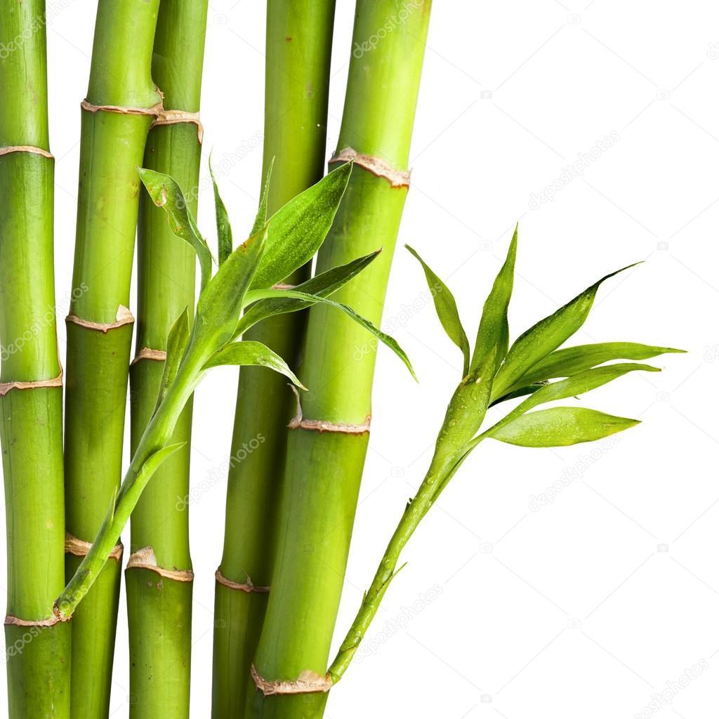 Resultado de imagen para Bambú