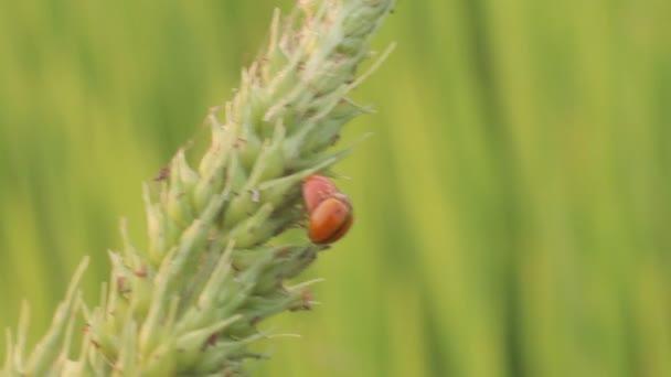 Ladybug In Rice Farm