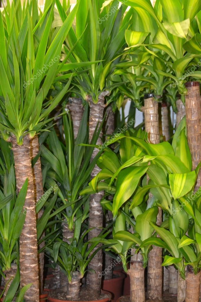 palmeras en macetas — Foto de stock © lisica66 #32816053