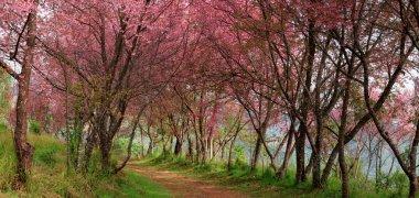 Sakura pink flower in, Thailand, Cherry blossom