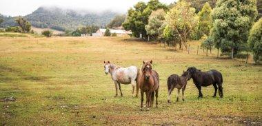 Horses in farm