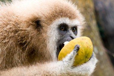 The white-hand gibbon eats wild mangosteen
