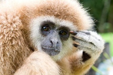 The white-hand gibbon in the forest