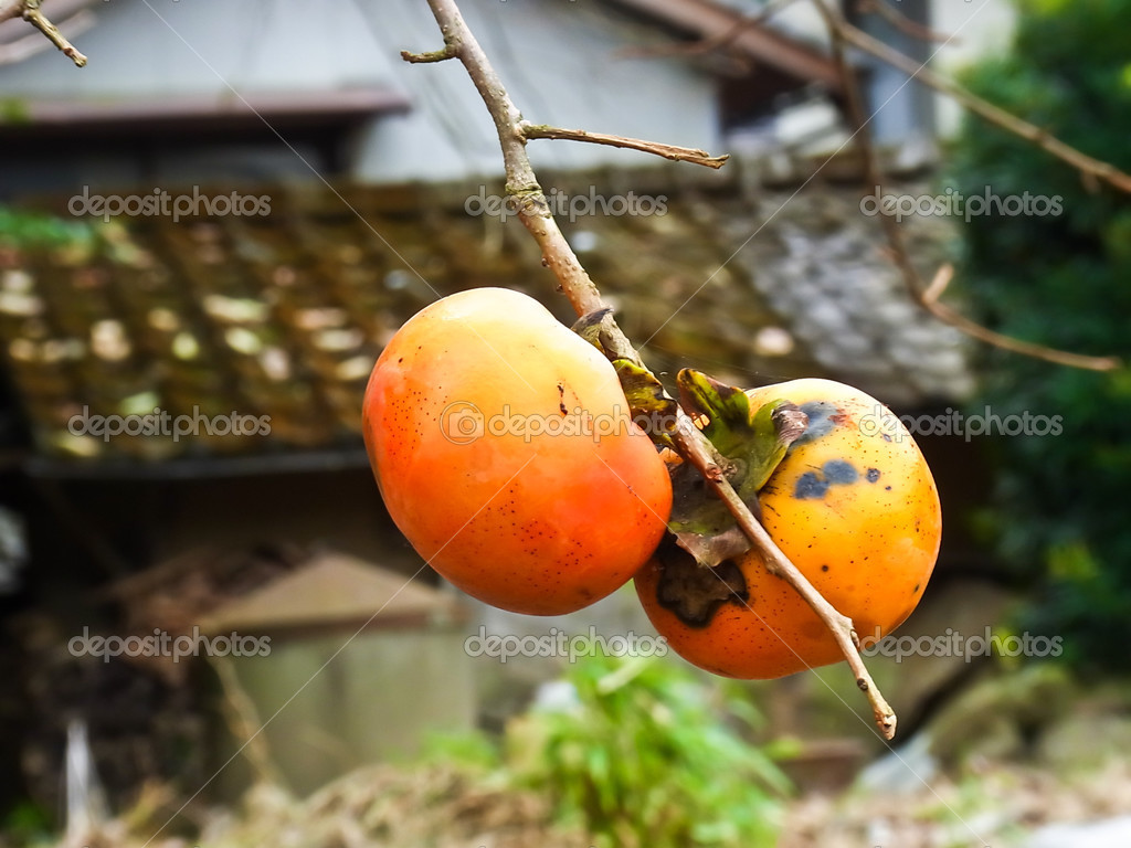 Two Persimmon on the branch