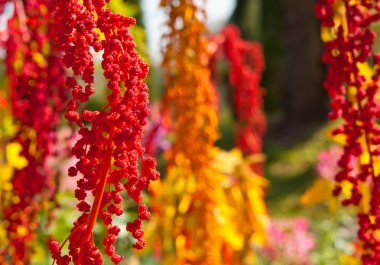 The colorful Quinoa tree in the farm