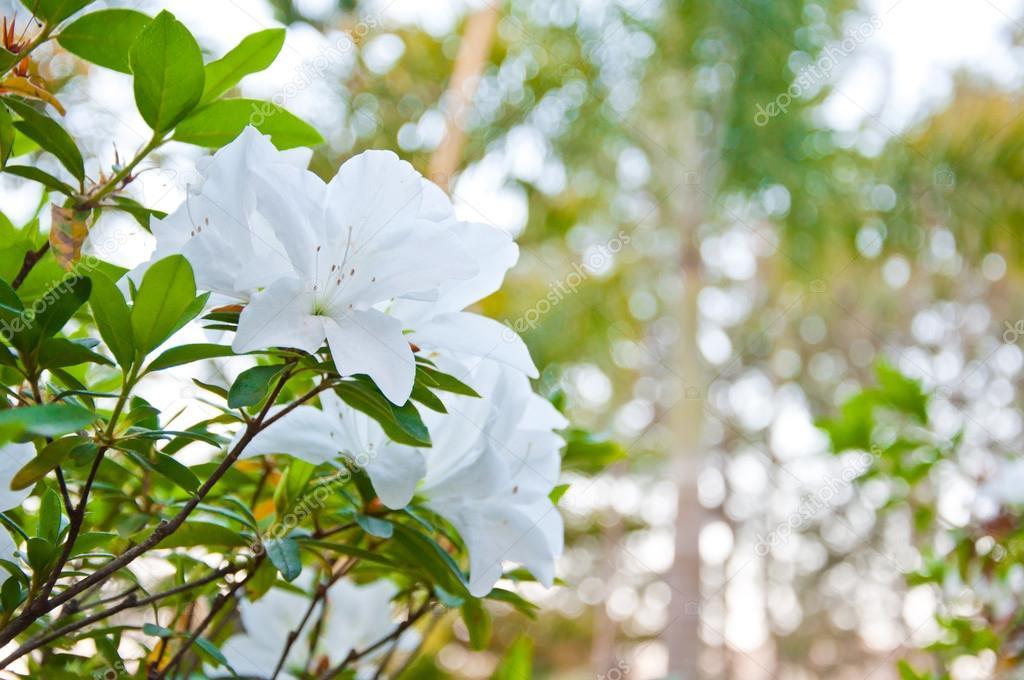 The white Azalea or Rhododendron