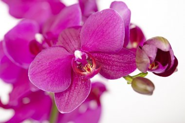 Purple Orchids - close up
