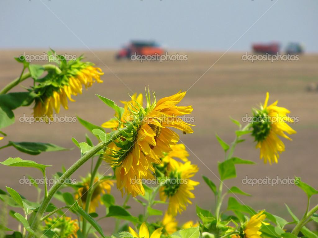 Farben des Sommer-wunderschöne Sonnenblumen — Stockfoto © Nerksi ...