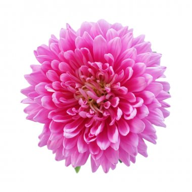 Pink aster isolated on white background