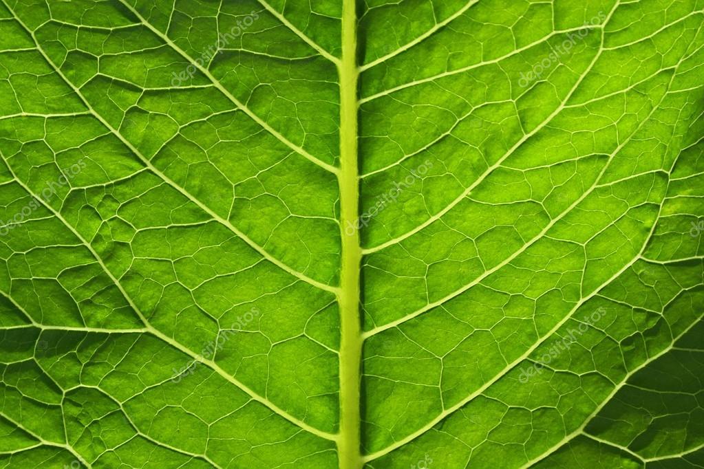 grande feuille verte d 39 une plante photographie. Black Bedroom Furniture Sets. Home Design Ideas