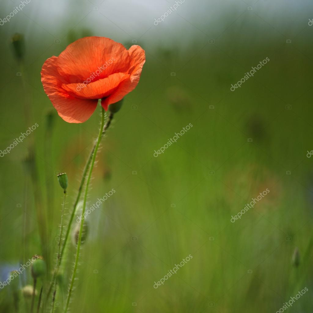 poppy in meadow