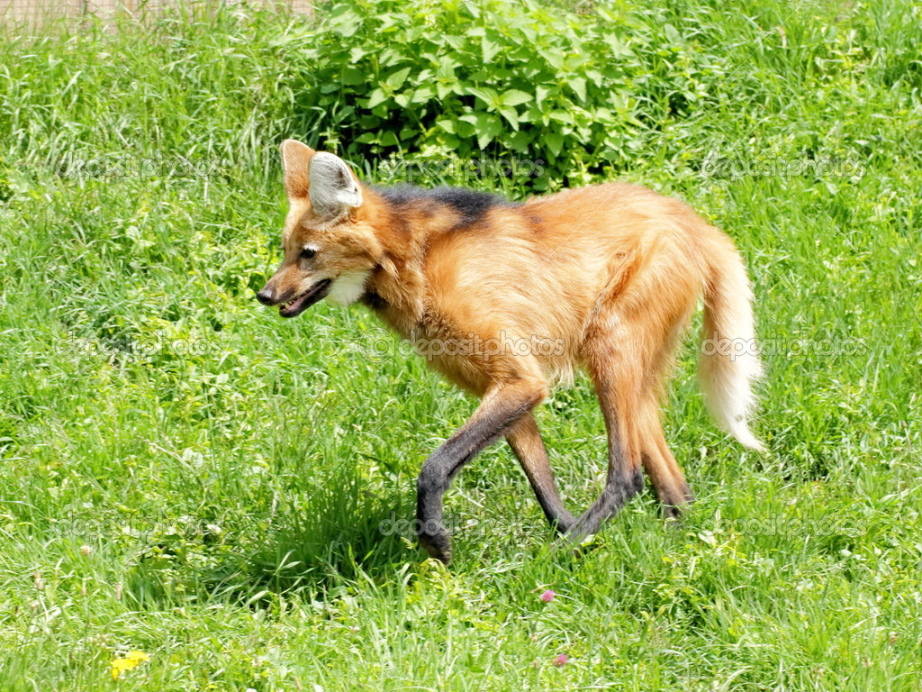 Maned wolf on the grass
