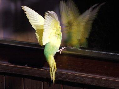 Yellow landing parakeet ploseup view