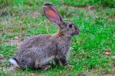 A hare on the grass