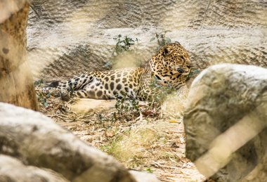 Leopard improsoned behind a Zoo Cage