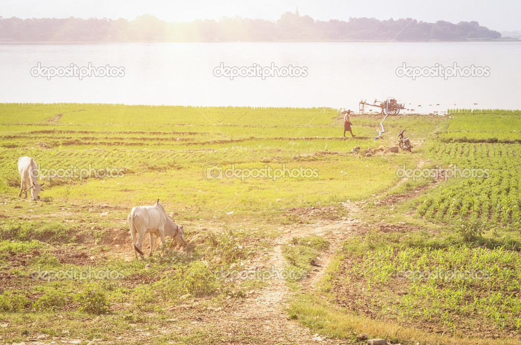 Agriculture and cultivated land in Myanmar - Mandalay Region