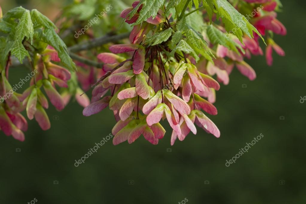 Pink Maple Seed Wings - Acer circinatum