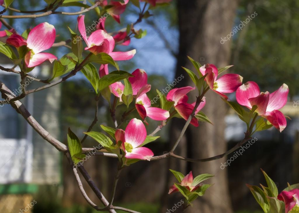 Red Flowering Dogwood Tree - Cornus florida
