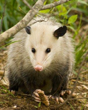 Pretty Possum - Opossum Didelphia virginiana