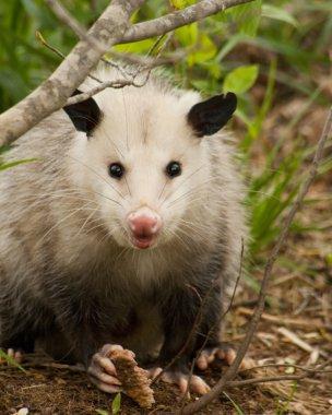 Beady Eyed Possum - Opossum Didelphia virginiana