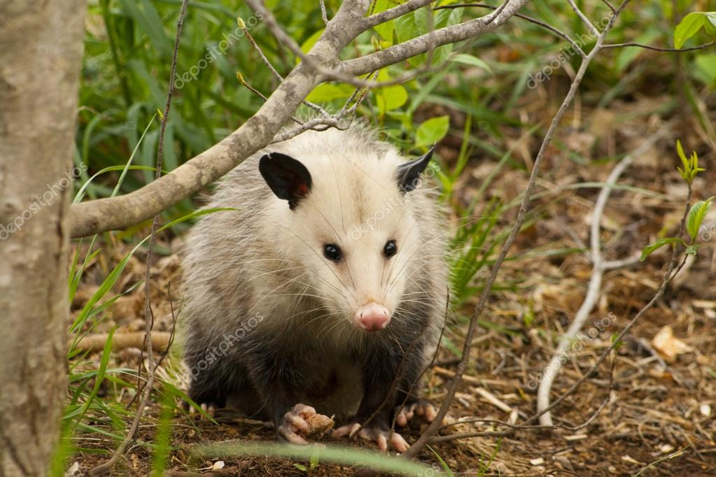 Alabama Possum - Opossum Didelphia virginiana
