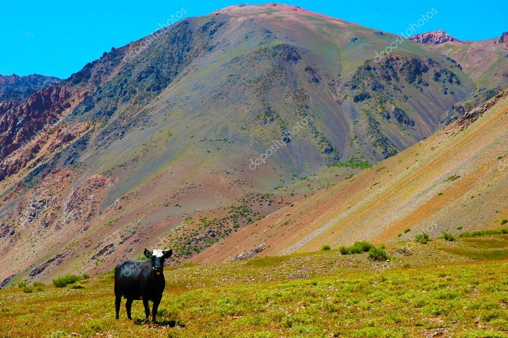 Cow in Andes Mountains