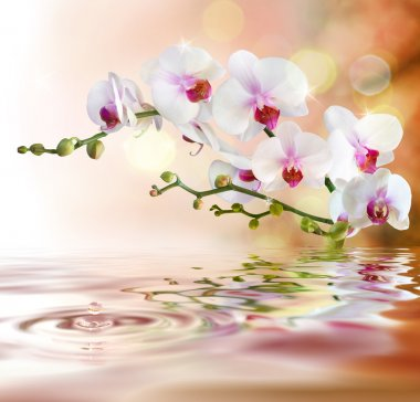 White orchids on water with drop