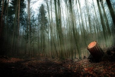Spooky foggy Bavarian Forrest in February