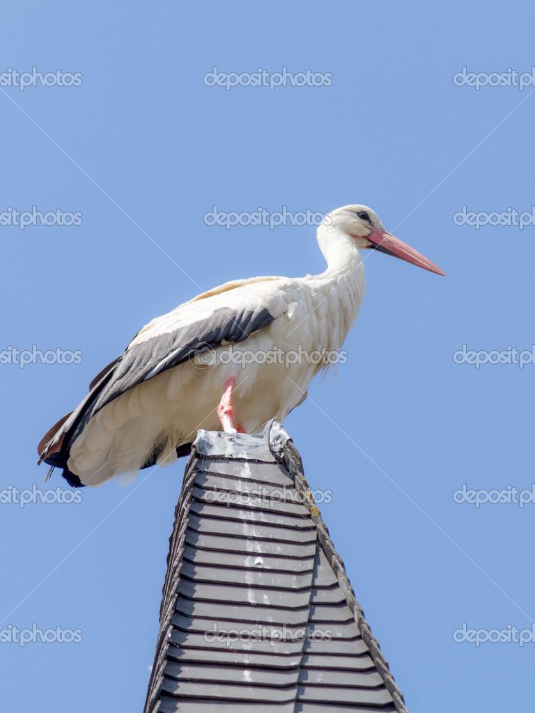 Wildlife Stork