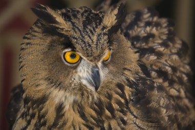 European Eagle-Owl 4