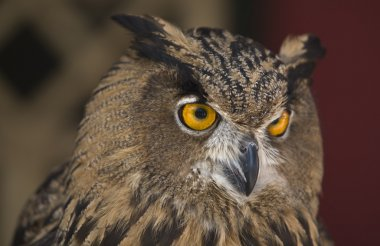 The Eagle Owl is a very large and powerful bird, sometimes referred to as the world's largest owl stock vector