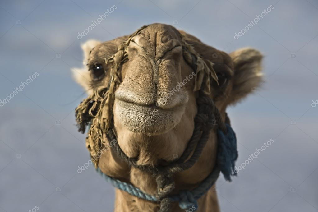 Erg Chebbi camel head