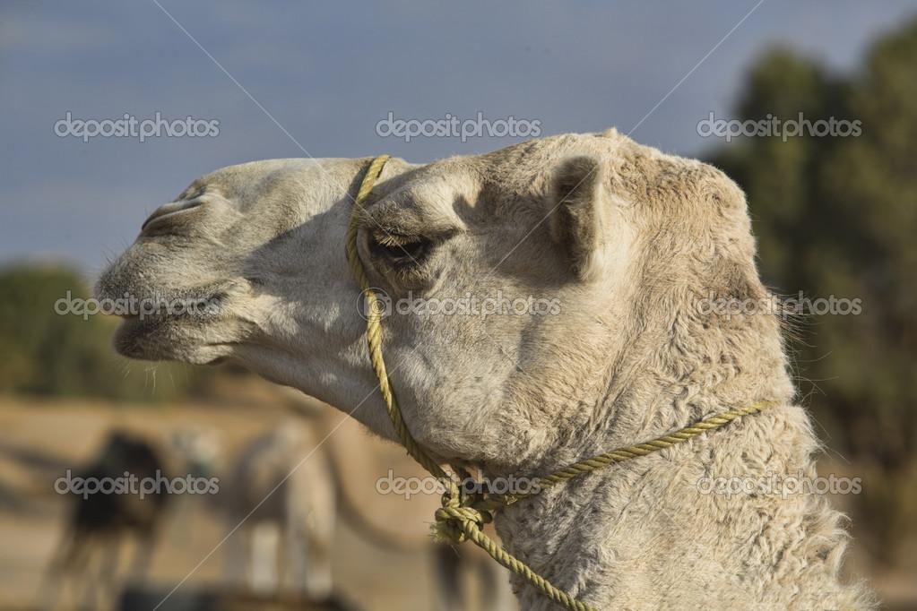 Erg Chebbi white camel