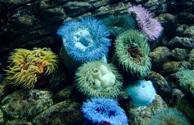 Anemone colony