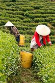 Dělnice vyzvednout čajových lístků na čajové plantáže, dalat, Vietnam - červenec 31