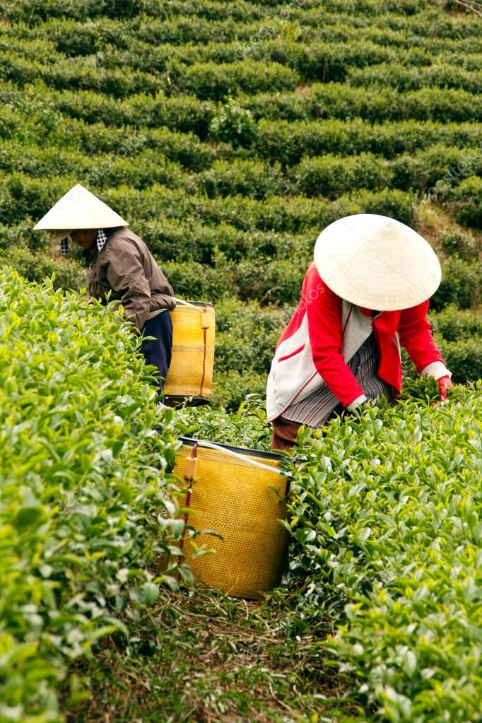 Workwoman pick tea leaves at tea plantation, Dalat, Viet Nam- July 31