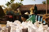 Bauern ernten Paddy Korn von Dreschmaschine