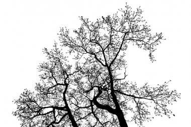 Alder tree top branches