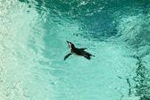 Fotografie Černý tučňák