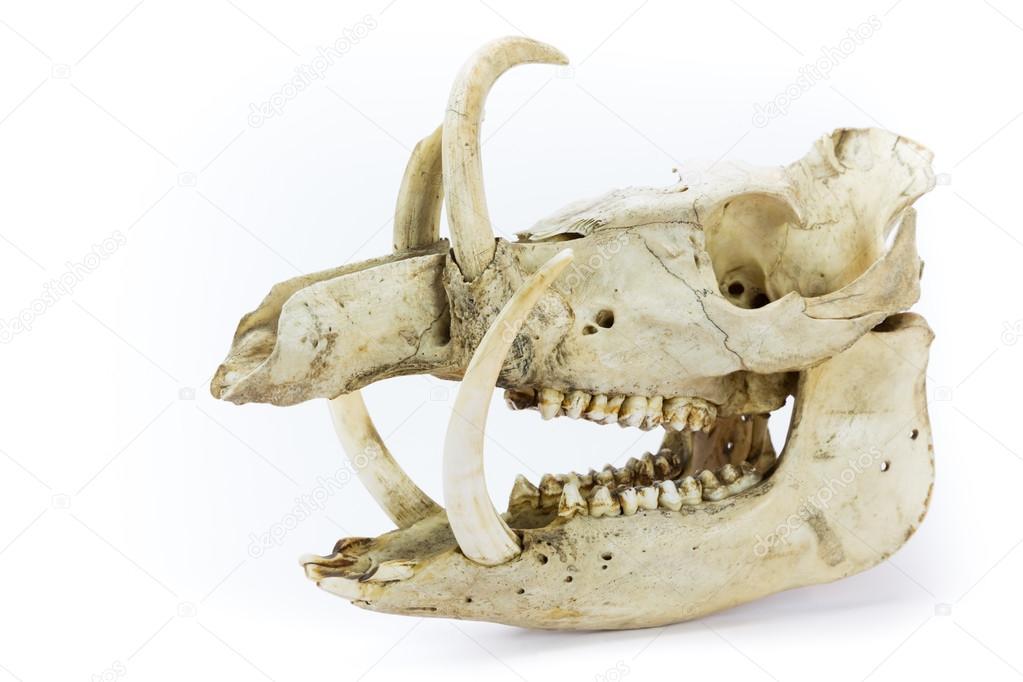 Skull of wild boar