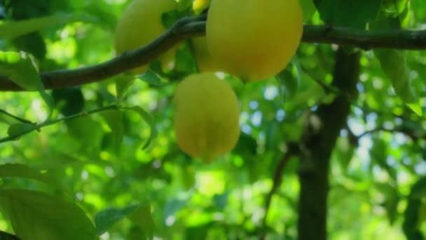 zblízka citronů v citroníku