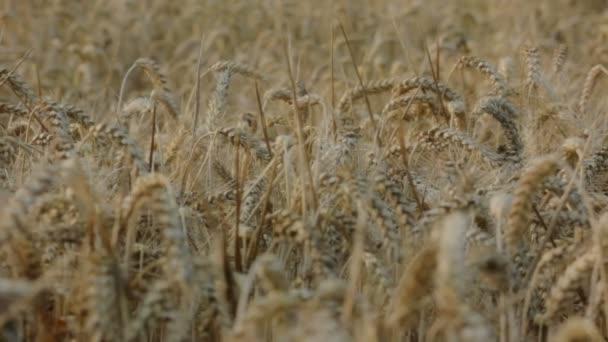 posouvání záběr kryté ječmene zrna v obilí