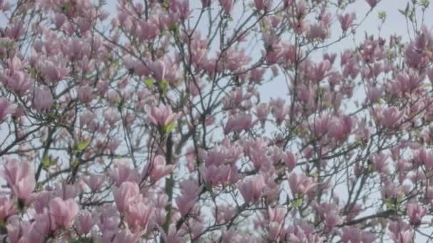 velké růžové magnolie strom