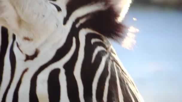 Zebra oko detail