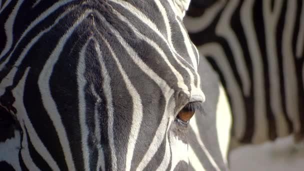 Zebra közelről