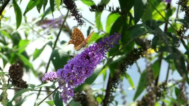 pillangók egy lila virág