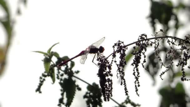 vážka, Protisvětlo