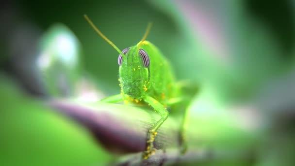kobylka zblízka