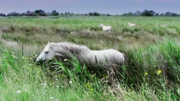 bílí koně v camargue
